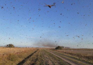 RFI: Ciclones e falta de monitoramento promovem pragas como gafanhotos