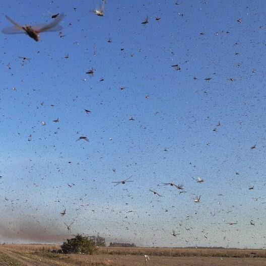 FAO se une a governos na África para combater praga de gafanhotos do deserto