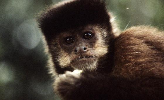 ONU: Caribe adere a plano para gerenciar macacos invasores