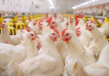 Avicultura encorpa protocolos sanitários para manter setor forte
