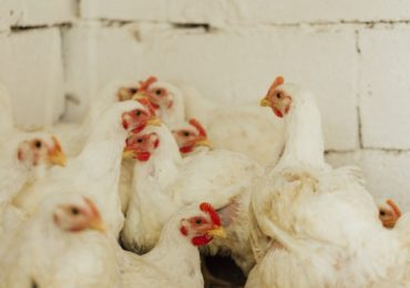 Setor da avicultura demonstra peso econômico e social nos estados
