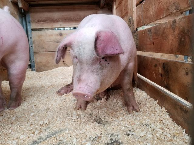 Exportações de carne suína e de frango terão crescimento em 2020