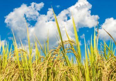 Paraguai sai na frente e inicia nova safra de arroz