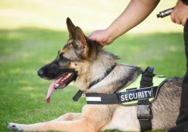 Faculdade francesa treina cães para detectar Covid-19