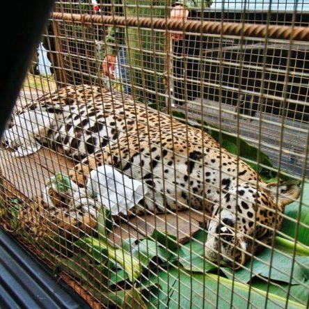 Acuados, animais do Pantanal não têm para onde fugir